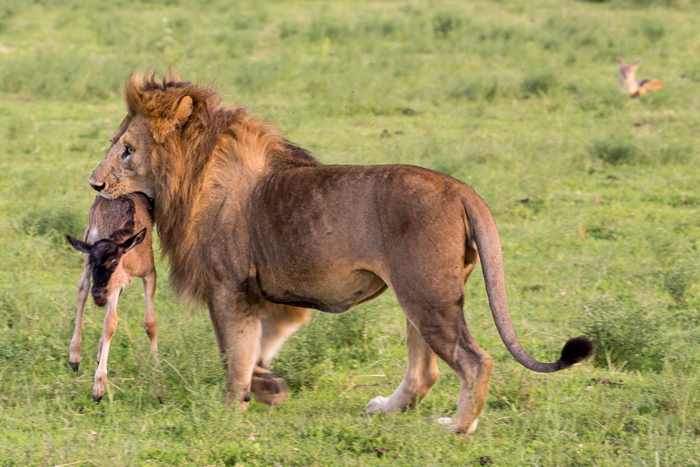The lion and his pet wildebeest