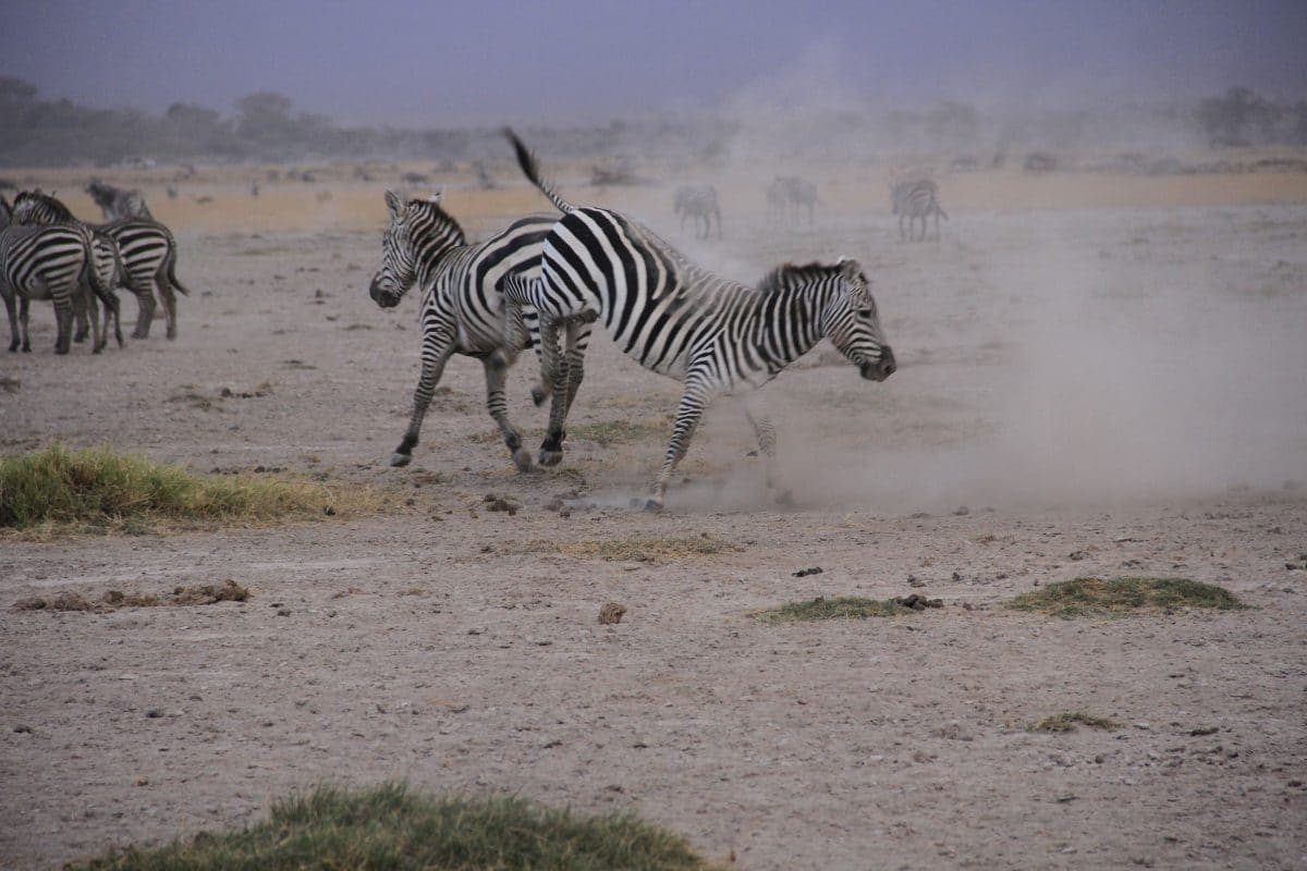 5 Fascinating Facts About Plains Zebra