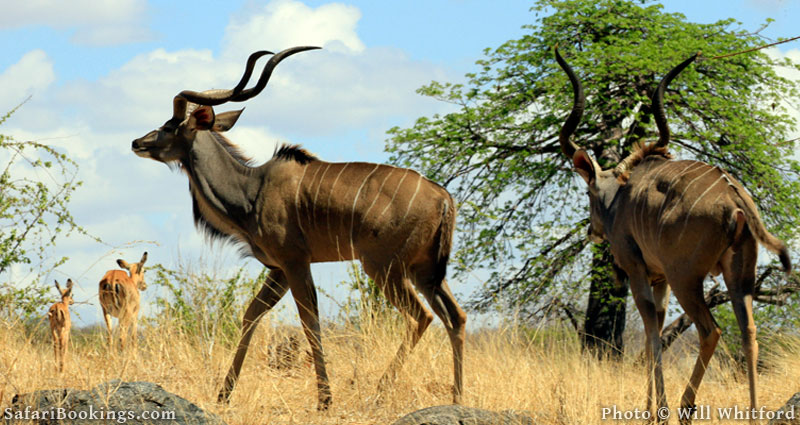 Greater kudu in Ruaha National Park.