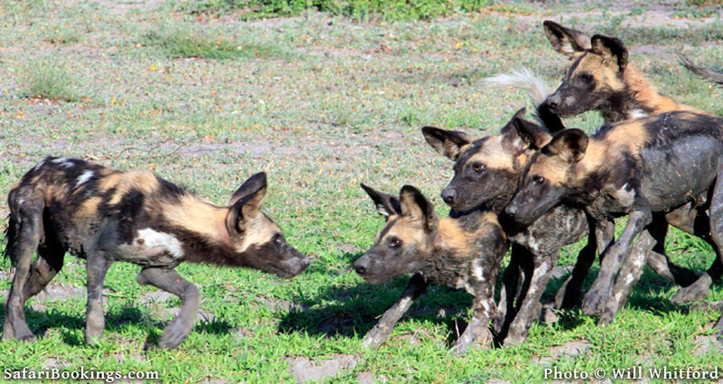 Tanzania's Southern Circuit is one of the best regions for sightings of rare African wild dogs. Photo credit: © Will Whitford
