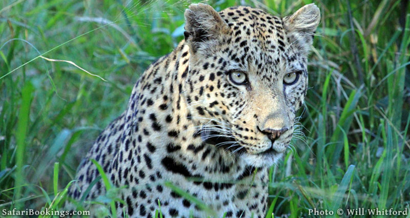 Leopards are often spotted in Ruaha National Park.