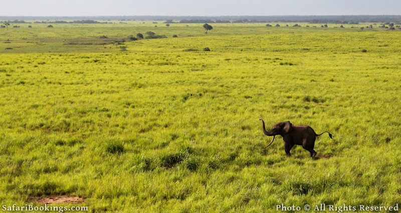 African Elephants: Defying the Odds