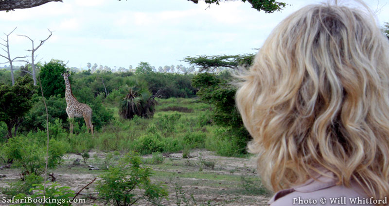 Encountering giraffe on a walking safari in Selous Game Reserve.