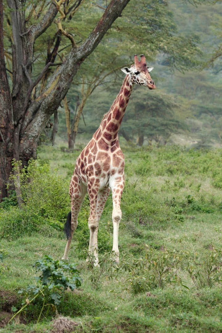 Uganda's Lake Mburo National Park Welcomes the first Baby Giraffe