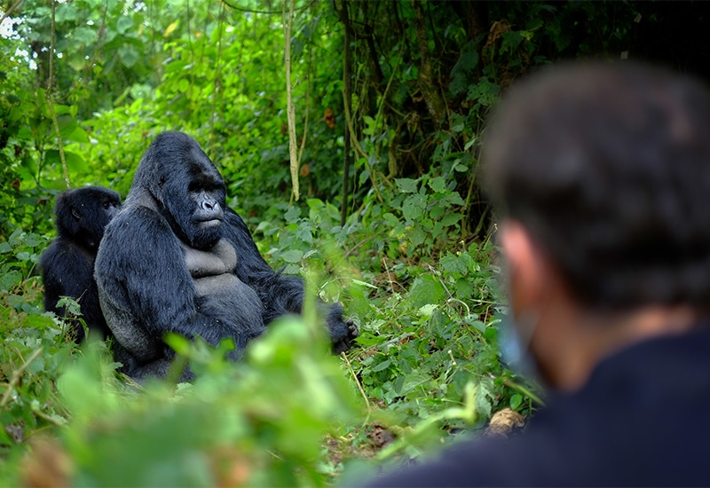 Visitor observing a mountain gorilla family