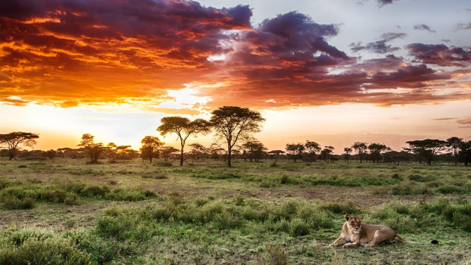 lion-in-the-grass-in-serengeti-national-park-1600x900