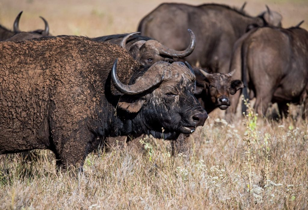 group of black water buffaloes at the field