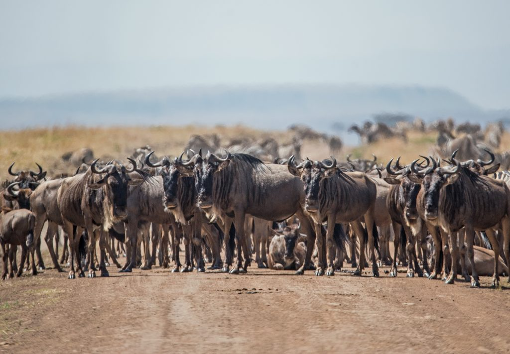 A herd of wildebeest blocks the road in the Mara triangle, Kenya.