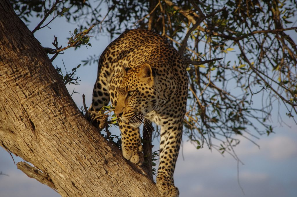 Jaguar on tree during day