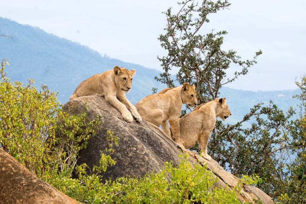 three lions sitting on rock formations at daytime