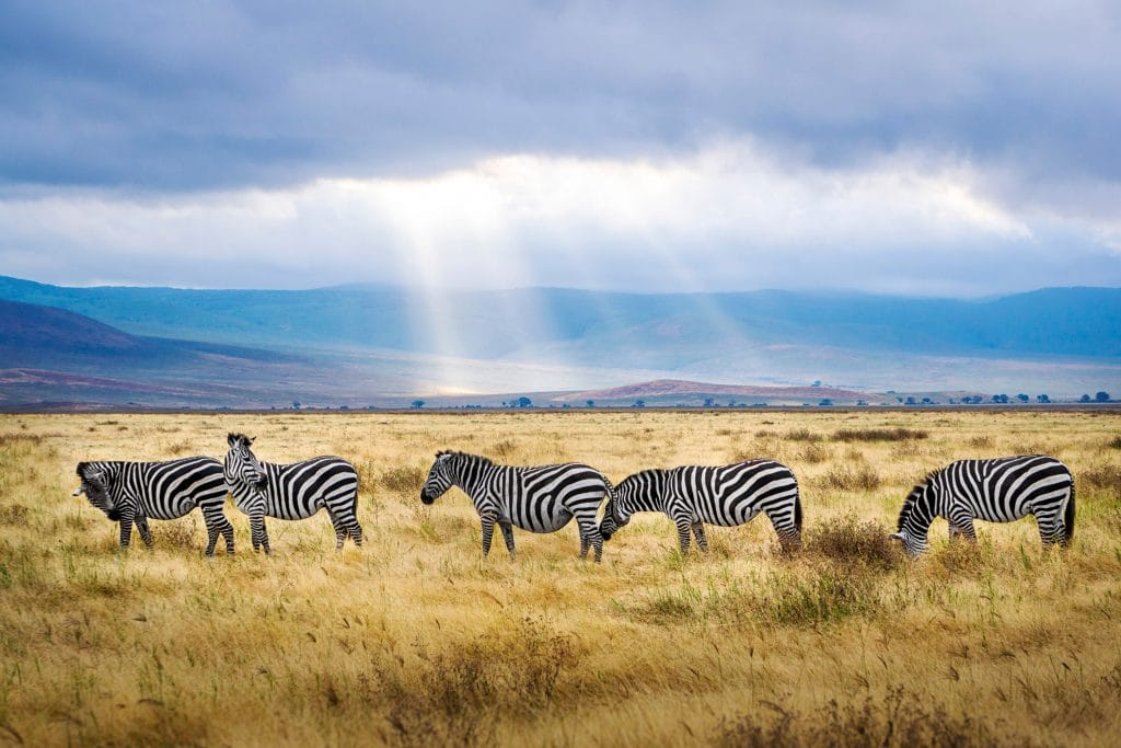 five black and white zebras