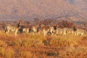 photo of herd of zebra on brown grass