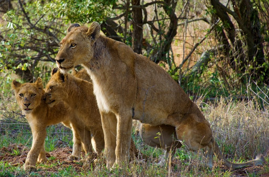 three brown lioness outdoor during daytime