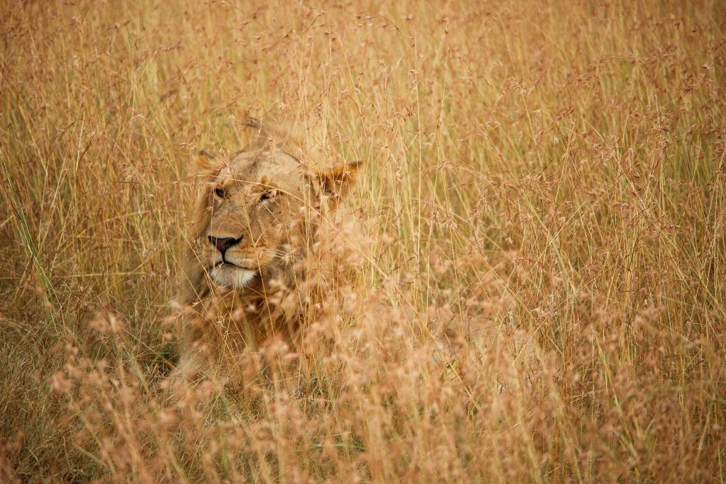 lion on brown grass field during daytime