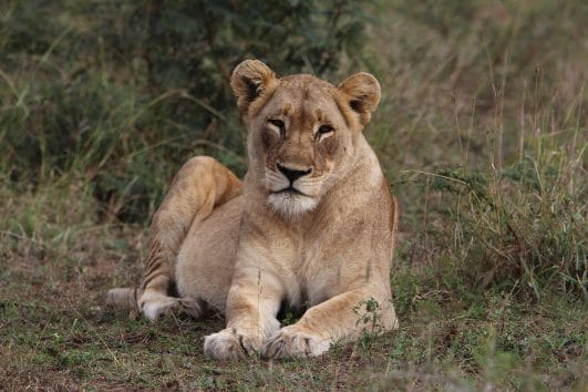 brown lioness on field